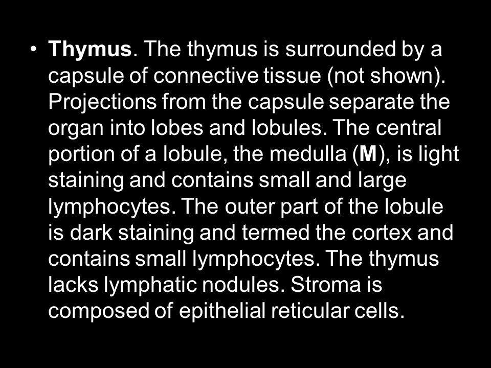 Thymus. The thymus is surrounded by a capsule of connective tissue (not shown).