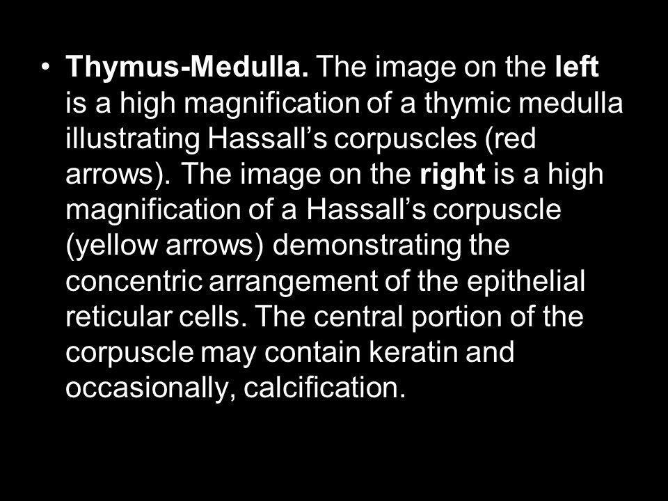 Thymus-Medulla.
