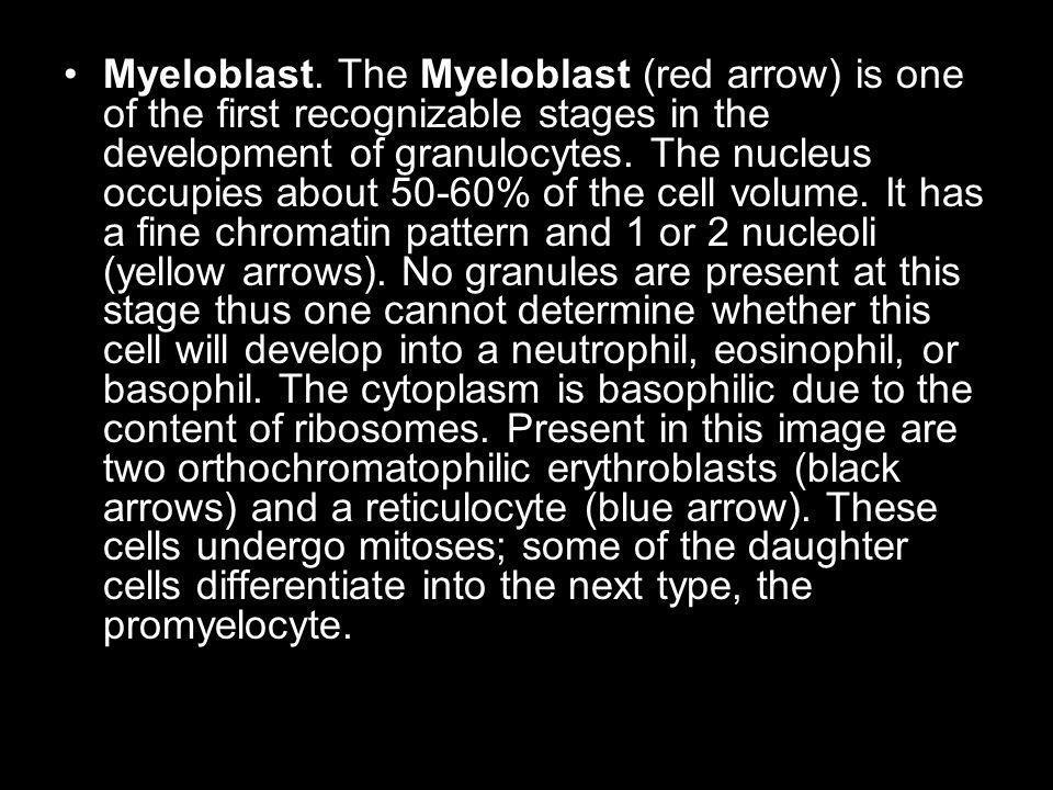 Myeloblast.