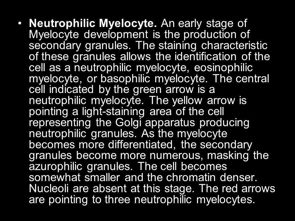 Neutrophilic Myelocyte