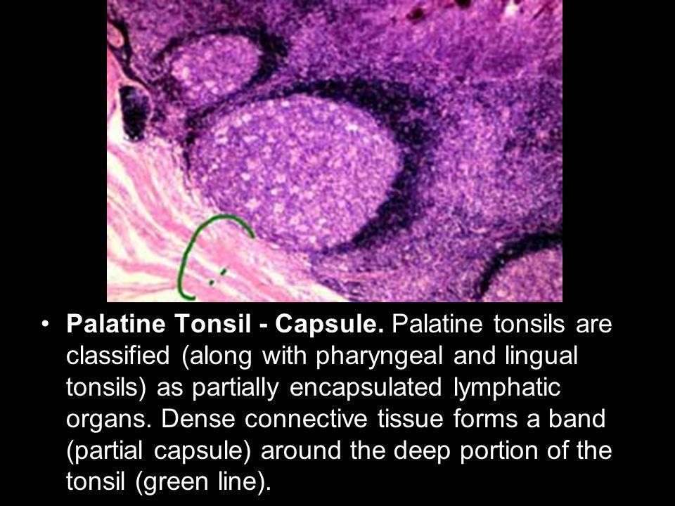 Palatine Tonsil - Capsule