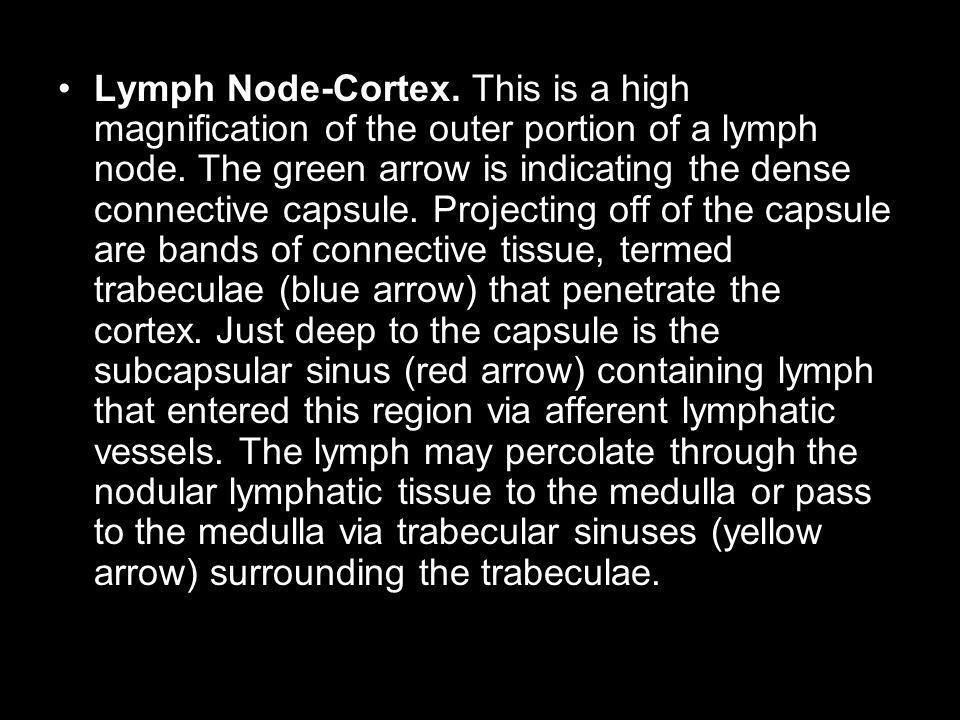 Lymph Node-Cortex. This is a high magnification of the outer portion of a lymph node.