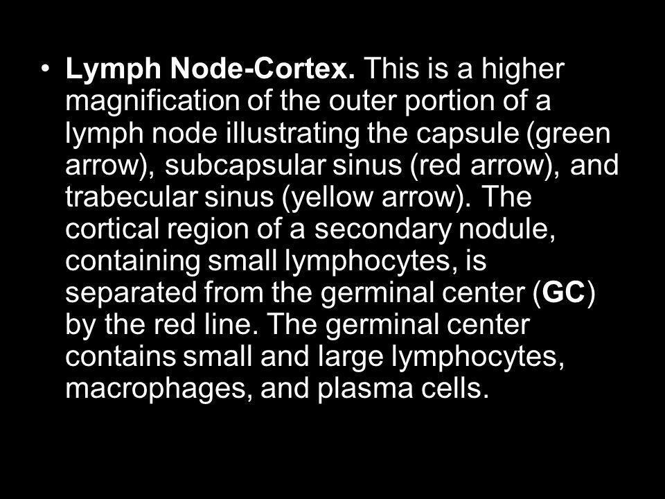 Lymph Node-Cortex.