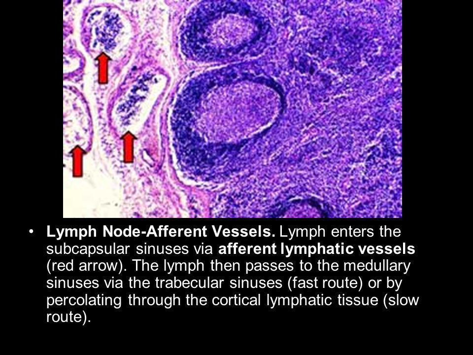 Lymph Node-Afferent Vessels