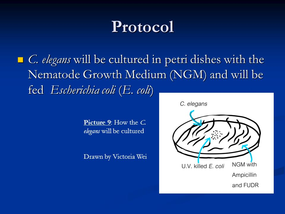 Protocol C. elegans will be cultured in petri dishes with the Nematode Growth Medium (NGM) and will be fed Escherichia coli (E. coli)