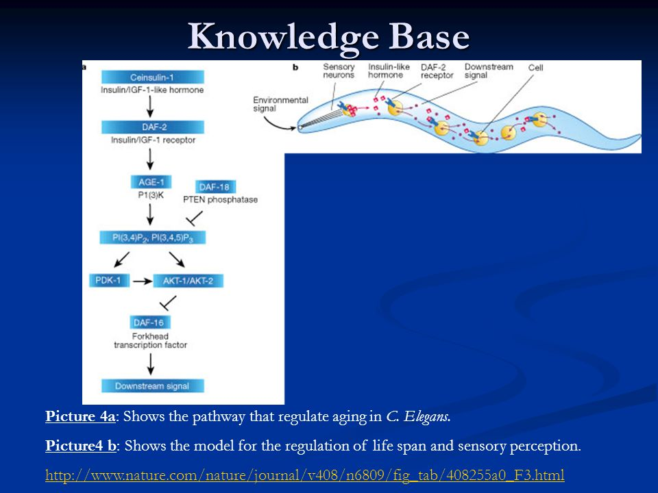 Knowledge Base Picture 4a: Shows the pathway that regulate aging in C. Elegans.