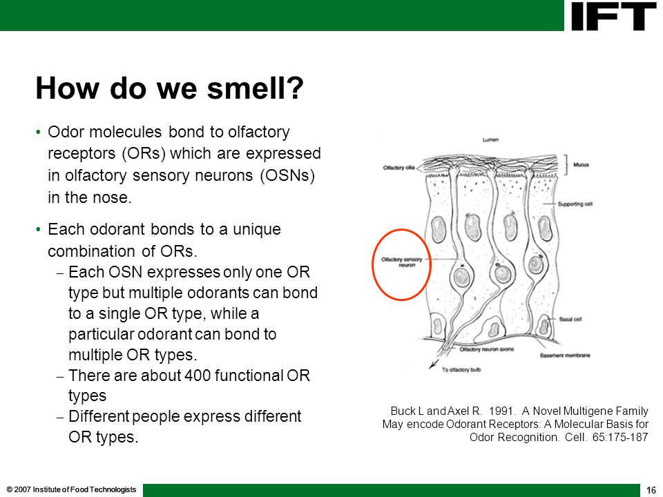 How do we smell Odor molecules bond to olfactory receptors (ORs) which are expressed in olfactory sensory neurons (OSNs) in the nose.