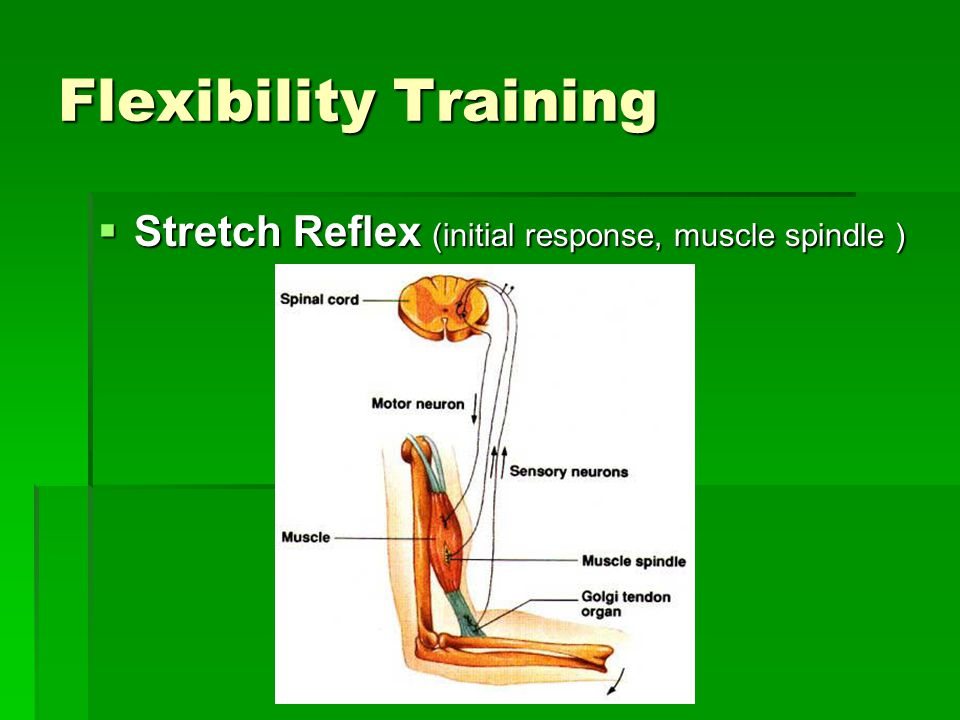 Flexibility Training Stretch Reflex (initial response, muscle spindle )