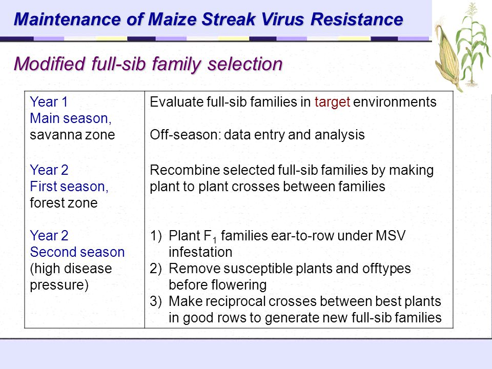 Maintenance of Maize Streak Virus Resistance
