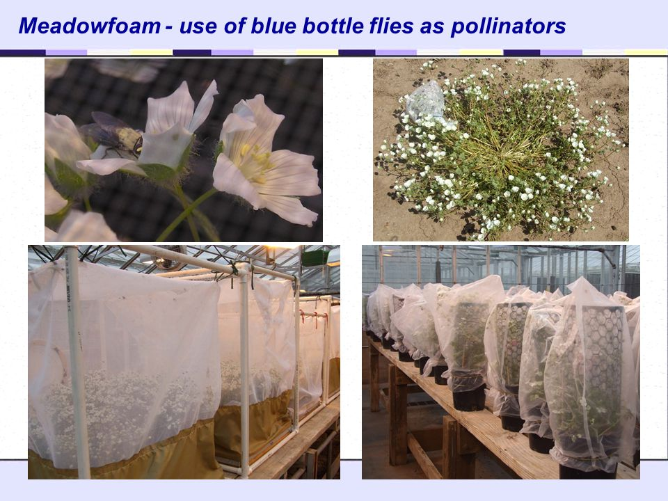 Meadowfoam - use of blue bottle flies as pollinators