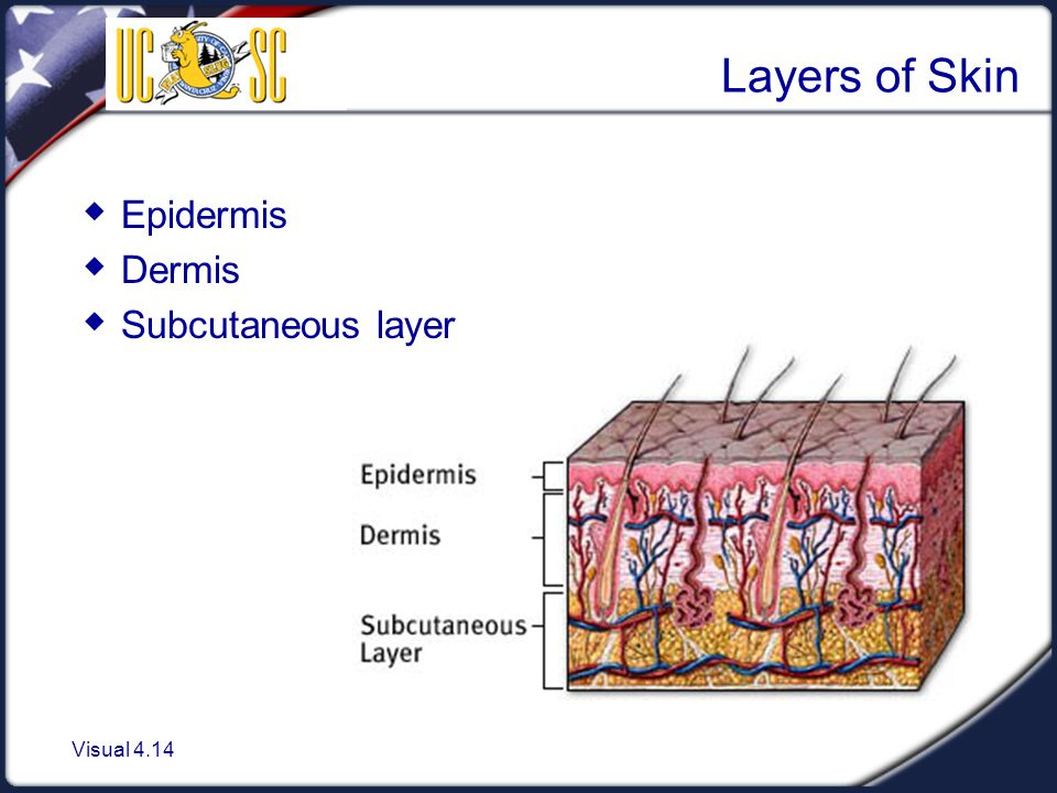 Layers of Skin Epidermis Dermis Subcutaneous layer