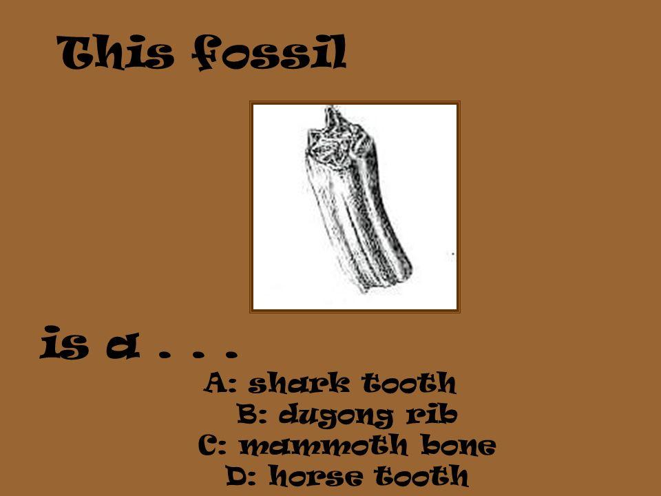 is a . . . A: shark tooth B: dugong rib C: mammoth bone D: horse tooth