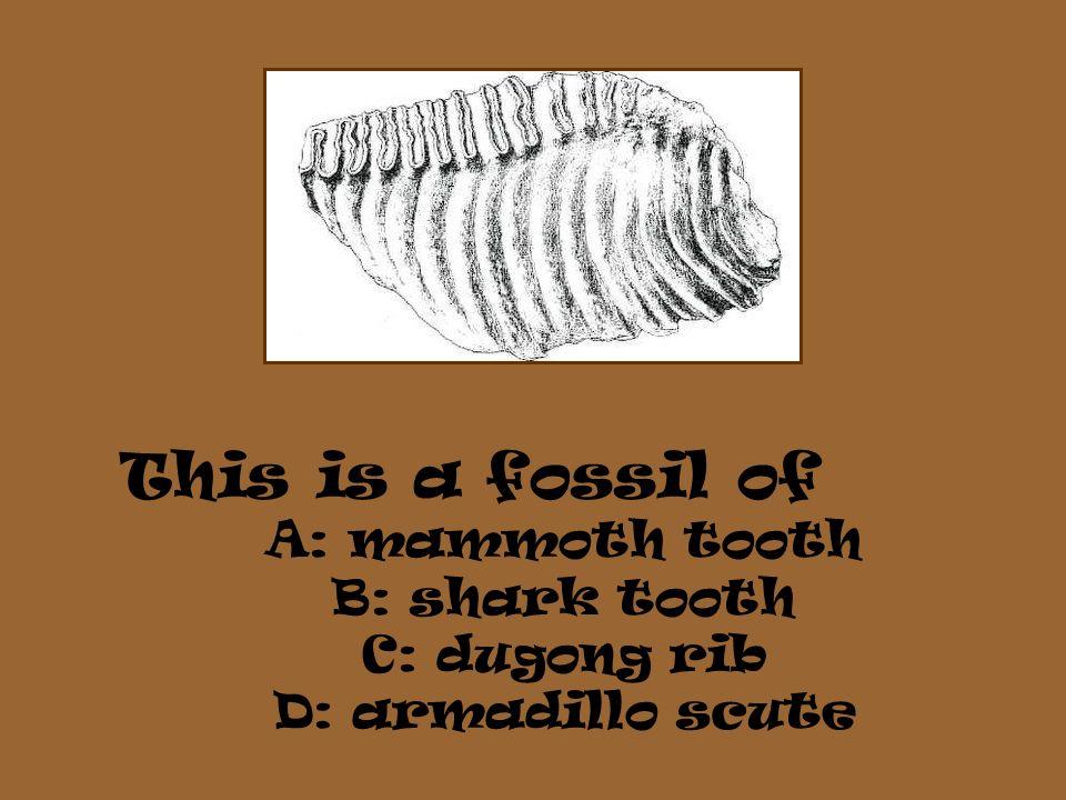 A: mammoth tooth B: shark tooth C: dugong rib D: armadillo scute