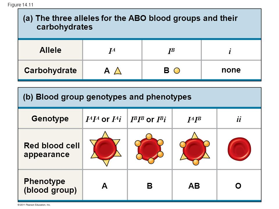(a) The three alleles for the ABO blood groups and their carbohydrates