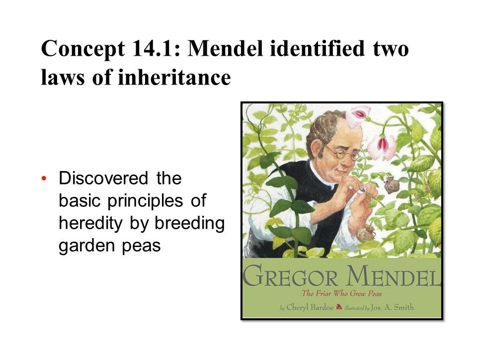Concept 14.1: Mendel identified two laws of inheritance