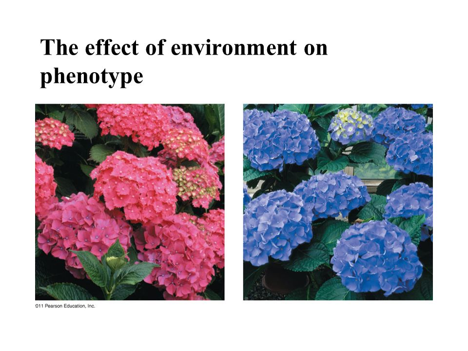 The effect of environment on phenotype