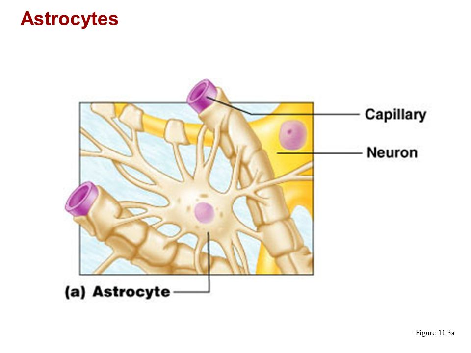 Astrocytes Figure 11.3a