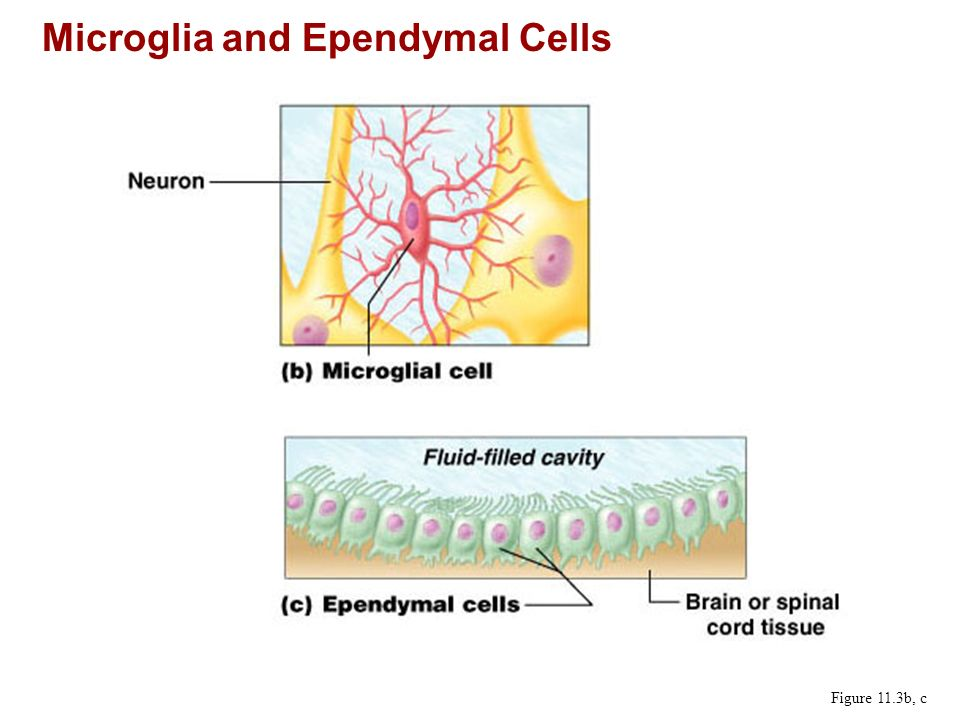 Microglia and Ependymal Cells