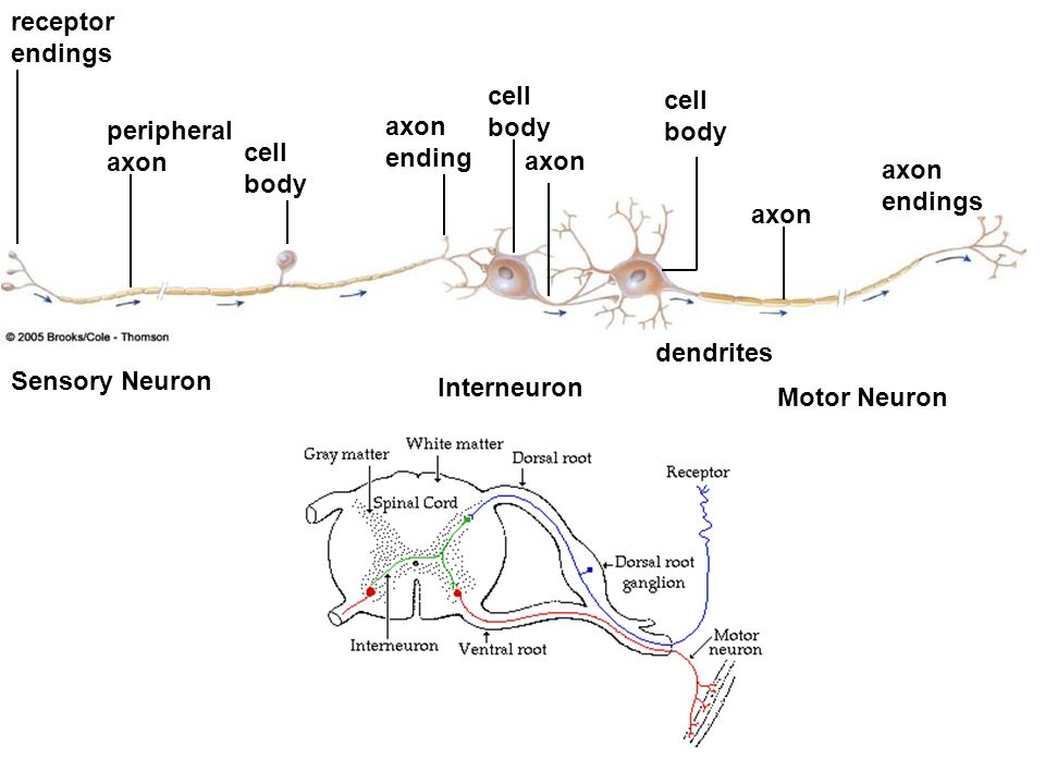 receptor endings cell body. cell body. peripheral axon. axon ending. cell body. axon. axon endings.