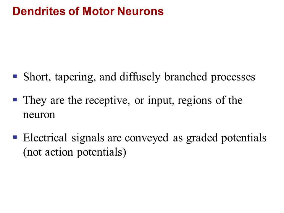 Dendrites of Motor Neurons