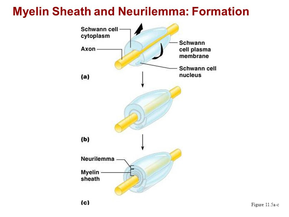 Myelin Sheath and Neurilemma: Formation