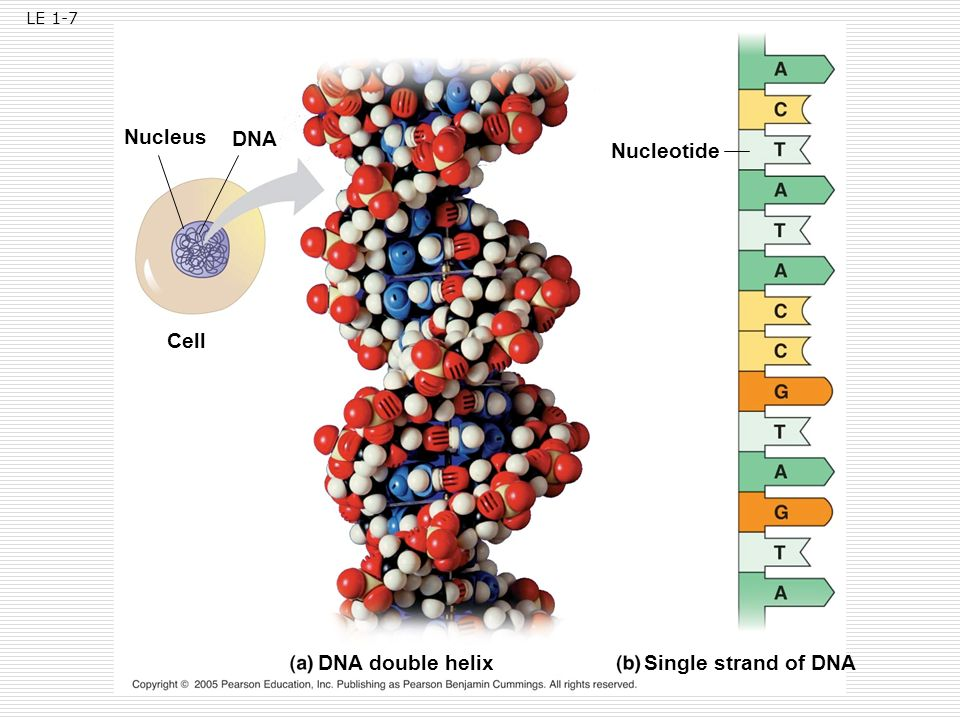 Nucleus DNA Nucleotide Cell DNA double helix Single strand of DNA