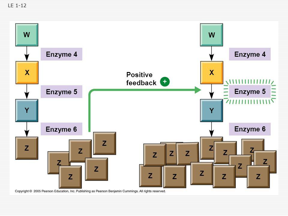 W W Enzyme 4 Enzyme 4 X X Positive feedback Enzyme 5 Enzyme 5 Y Y