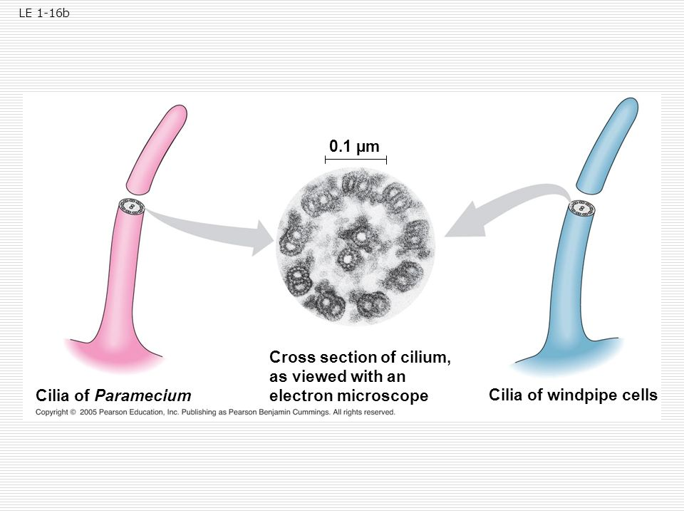 Cross section of cilium, as viewed with an electron microscope