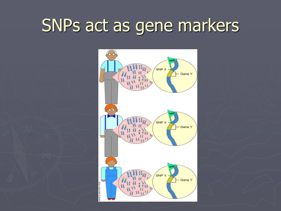 SNPs act as gene markers
