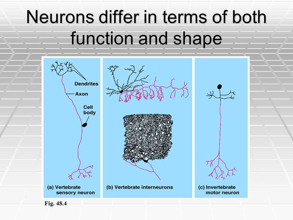 Neurons differ in terms of both function and shape
