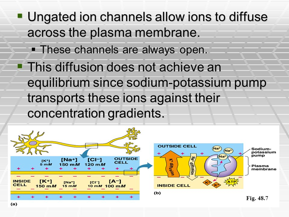Ungated ion channels allow ions to diffuse across the plasma membrane.