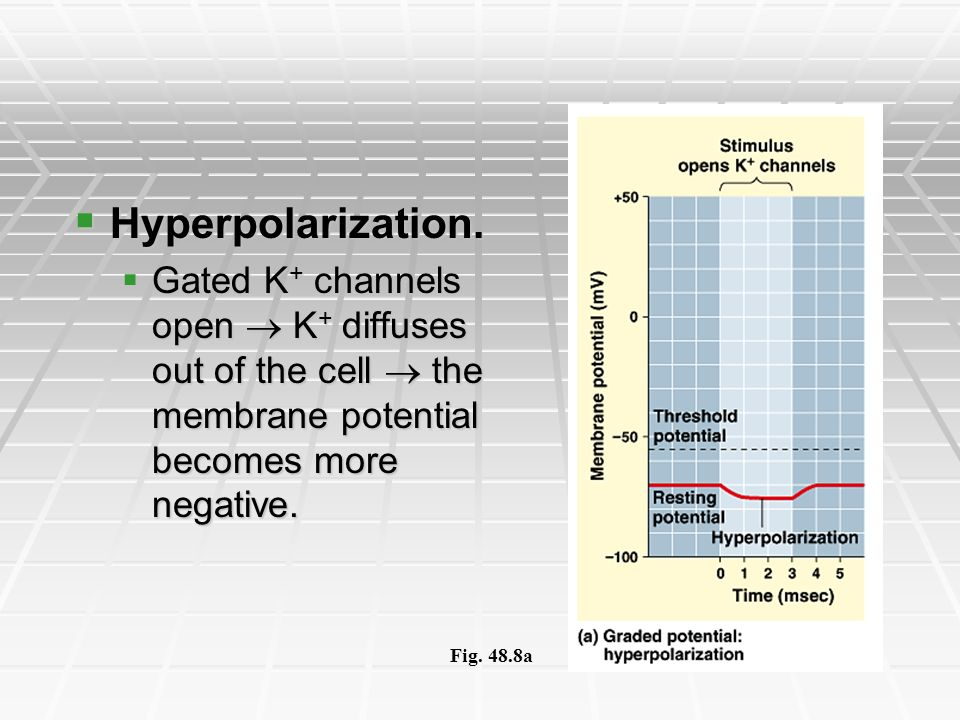 Hyperpolarization. Gated K+ channels open  K+ diffuses out of the cell  the membrane potential becomes more negative.