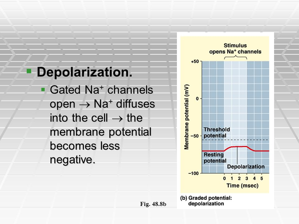 Depolarization. Gated Na+ channels open  Na+ diffuses into the cell  the membrane potential becomes less negative.