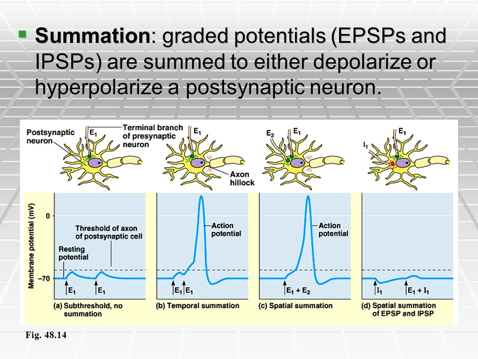 Summation: graded potentials (EPSPs and IPSPs) are summed to either depolarize or hyperpolarize a postsynaptic neuron.