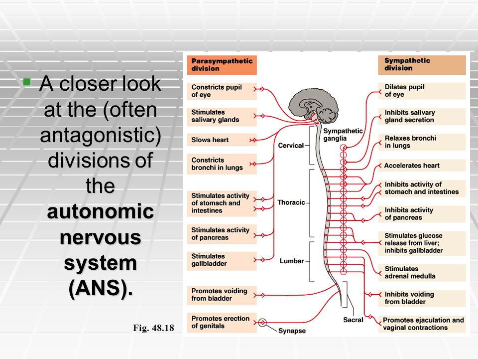 A closer look at the (often antagonistic) divisions of the autonomic nervous system (ANS).