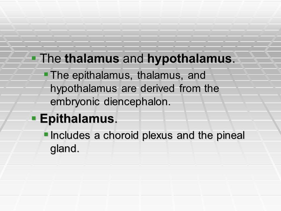 The thalamus and hypothalamus.
