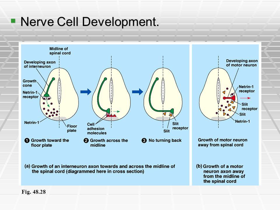 Nerve Cell Development.