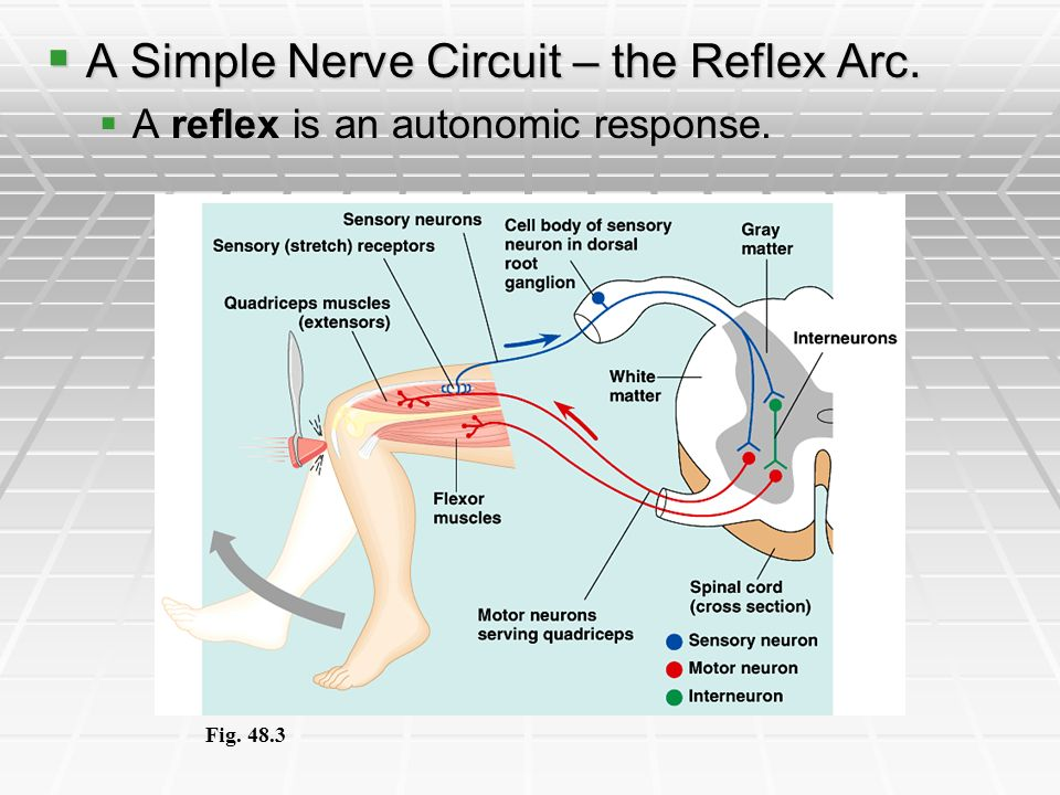 A Simple Nerve Circuit – the Reflex Arc.