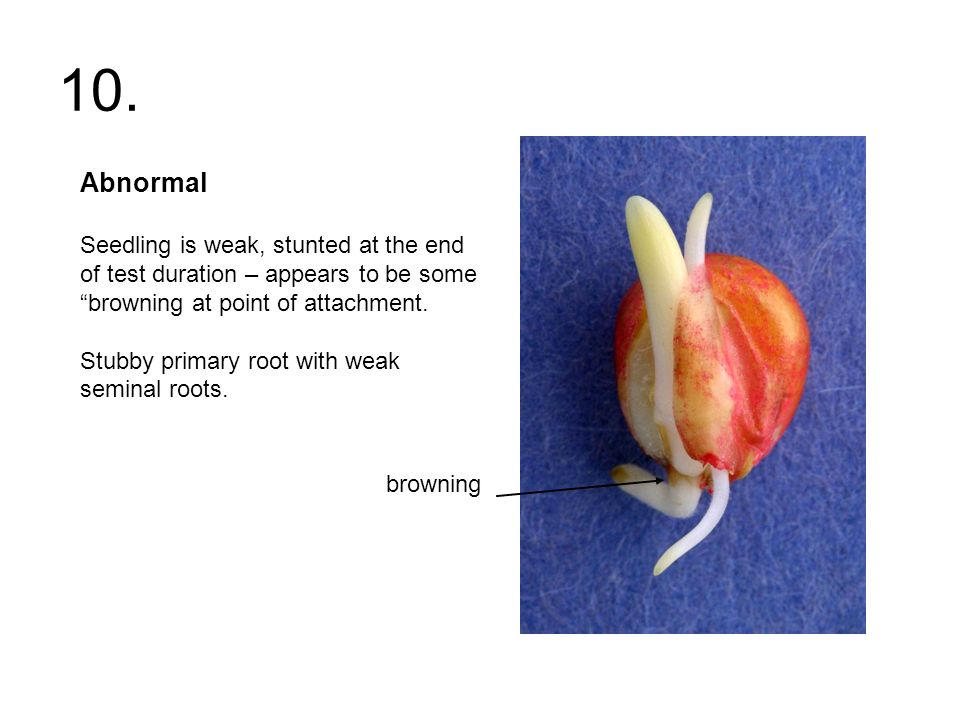 10. Abnormal Seedling is weak, stunted at the end