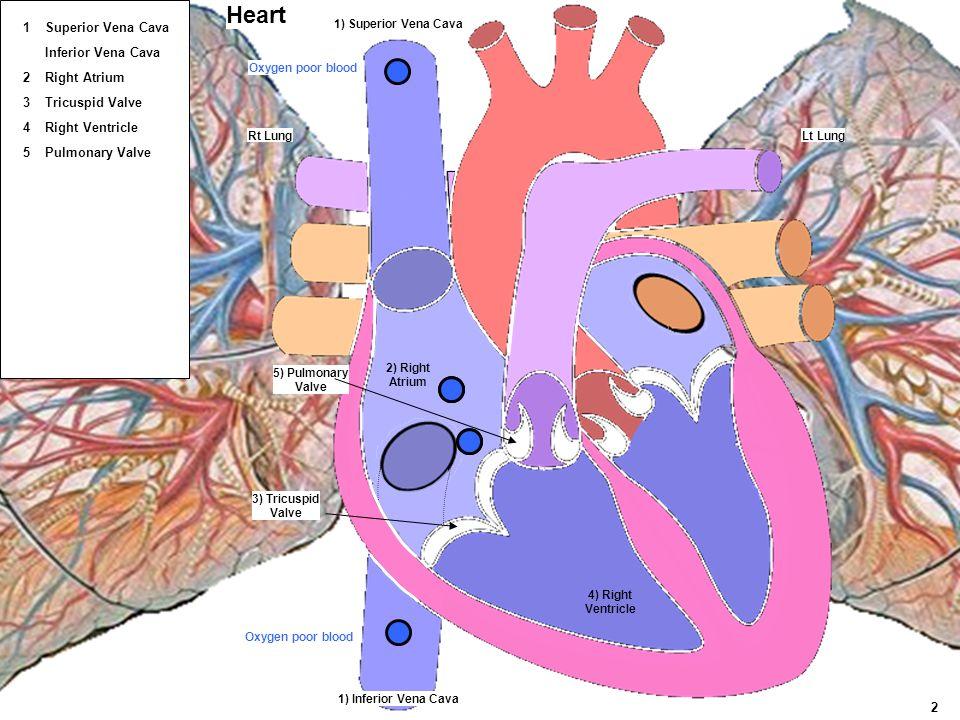 Heart 1 Superior Vena Cava Inferior Vena Cava 2 Right Atrium 3