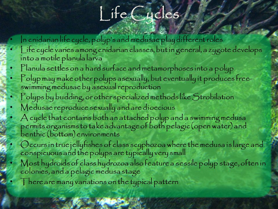 Life Cycles In cnidarian life cycle, polyp's and medusae play different roles.