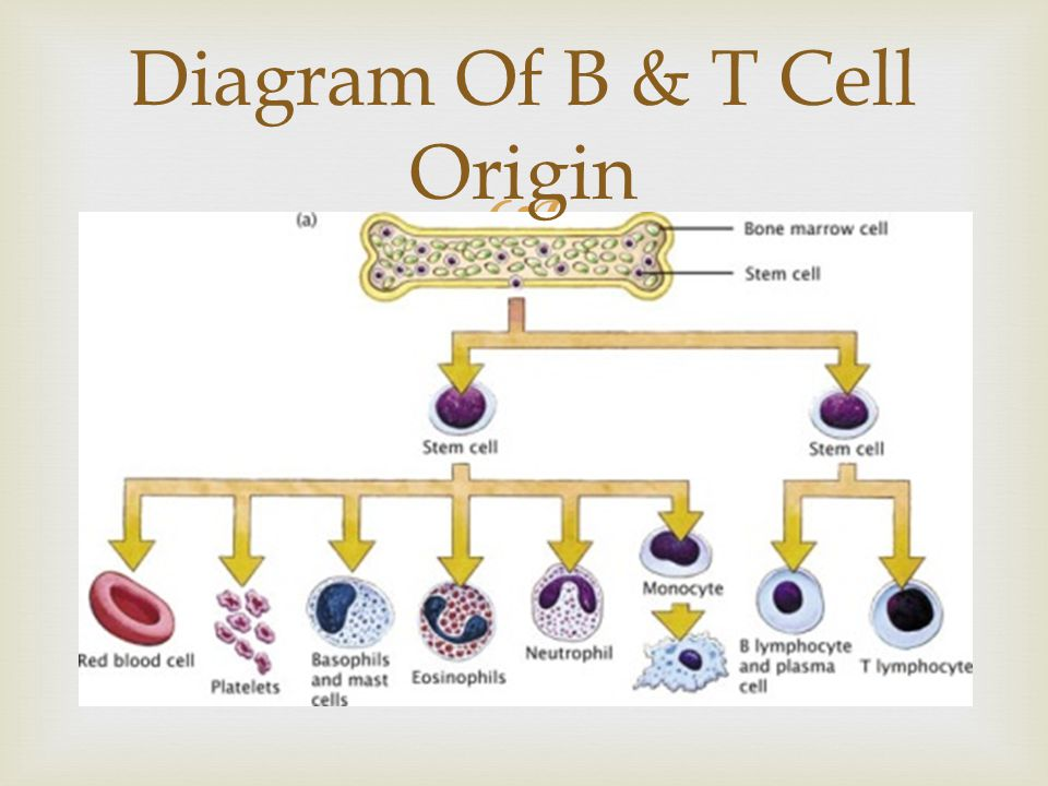 Diagram Of B & T Cell Origin