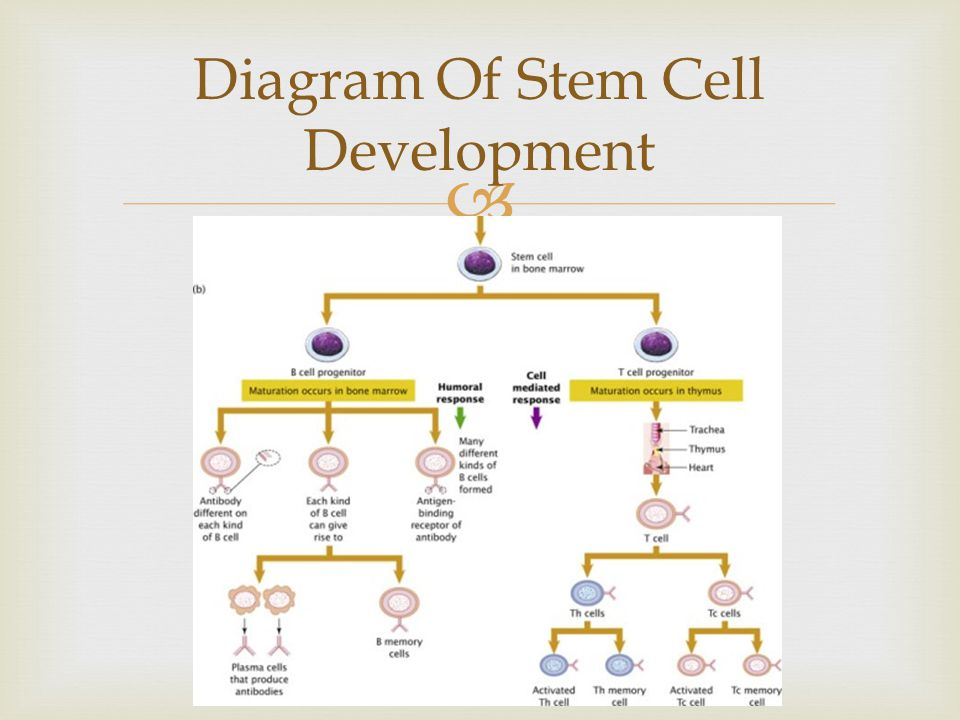 Diagram Of Stem Cell Development