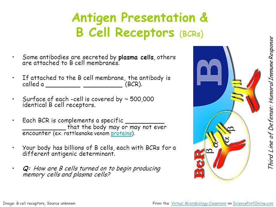 Antigen Presentation & B Cell Receptors (BCRs)