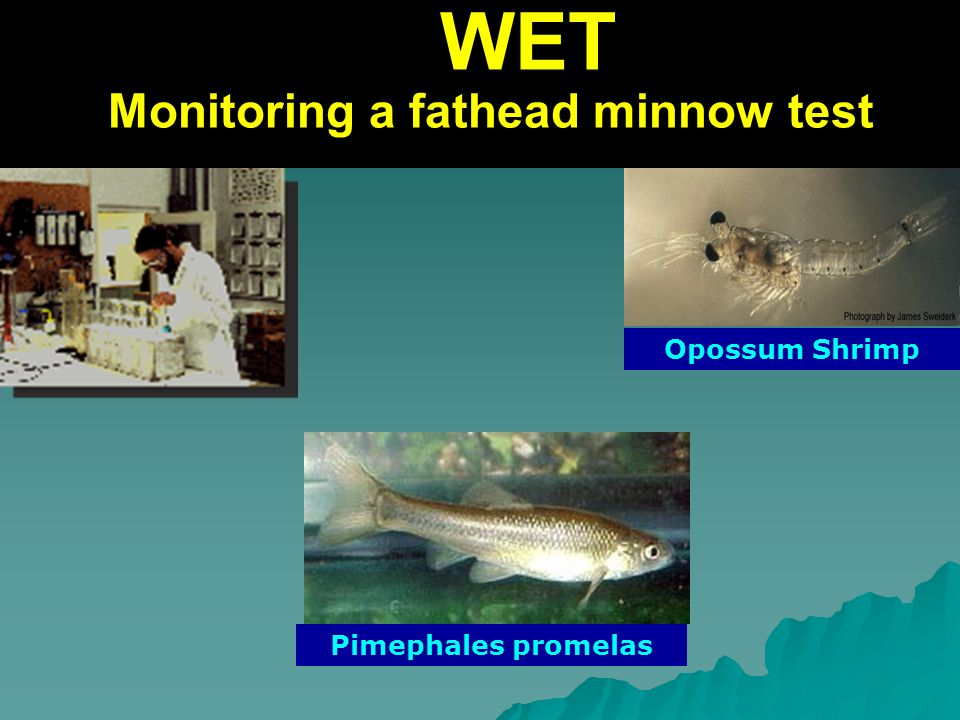 WET Monitoring a fathead minnow test