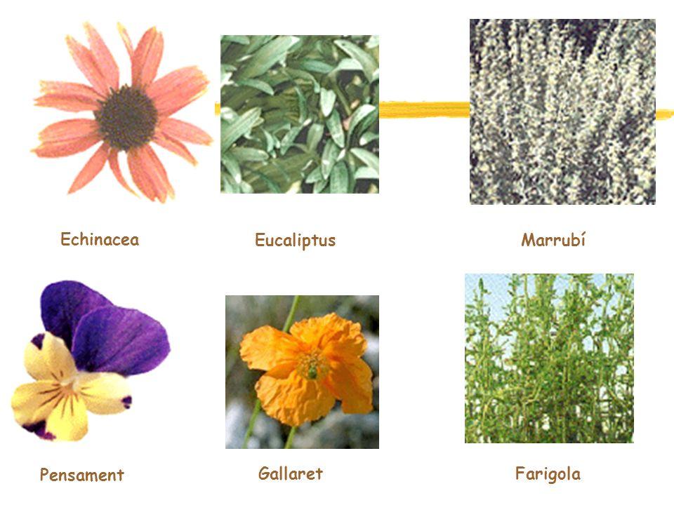 Echinacea Eucaliptus Marrubí Pensament Gallaret Farigola