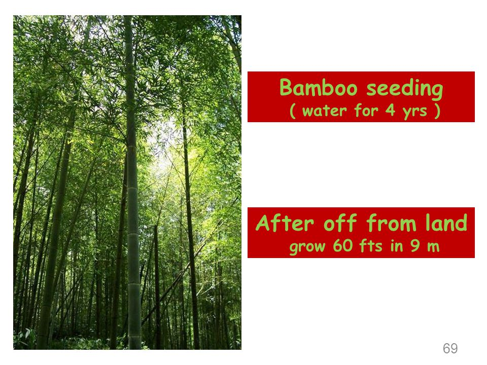 Bamboo seeding After off from land