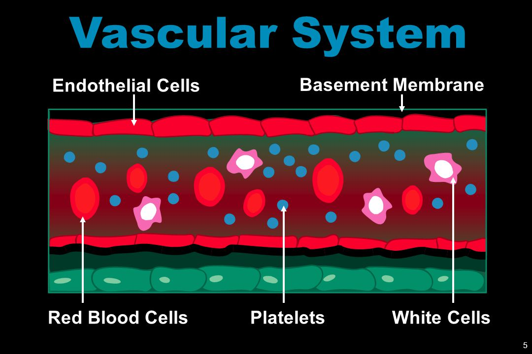 Vascular System Endothelial Cells Basement Membrane Red Blood Cells