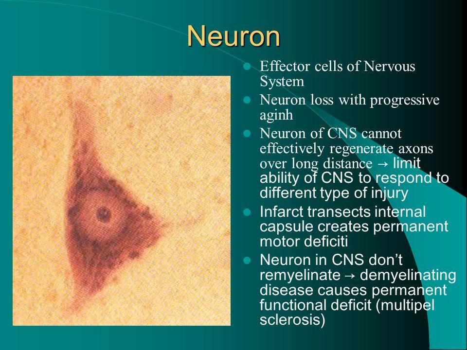 Neuron Effector cells of Nervous System