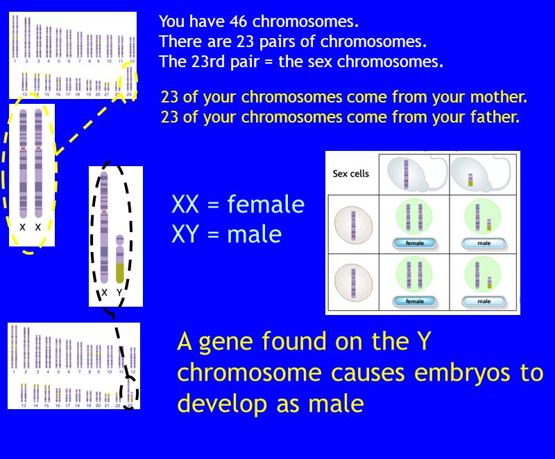 A gene found on the Y chromosome causes embryos to develop as male